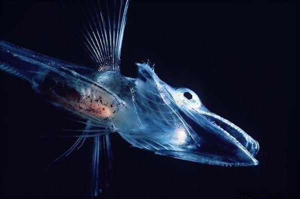 海の生き物(コオリウオ)image