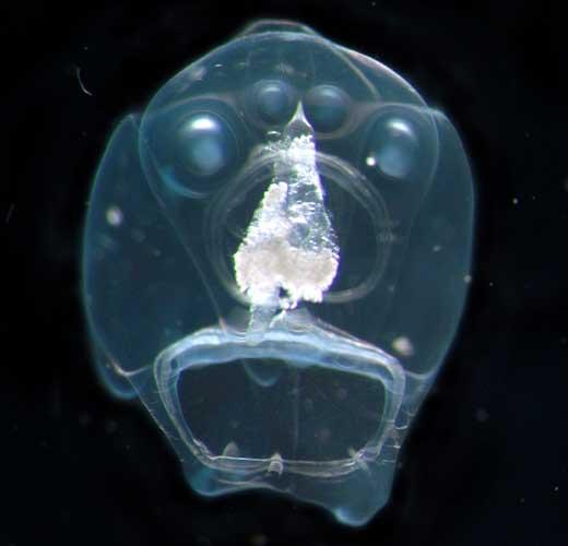 海の生き物(アサリ類hippopodiushippopus)image
