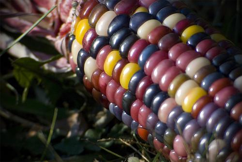 とあるトウモロコシ(レインボーコーン)image
