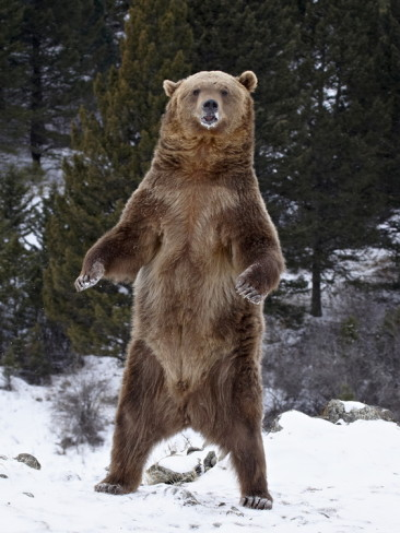 クマさんの立ち姿image