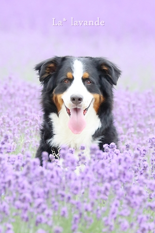 lavender (1 - 1)zz