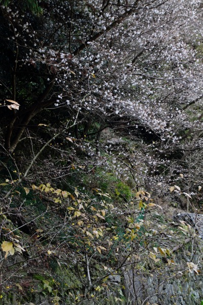 マイトピア別子・冬桜 140102 03