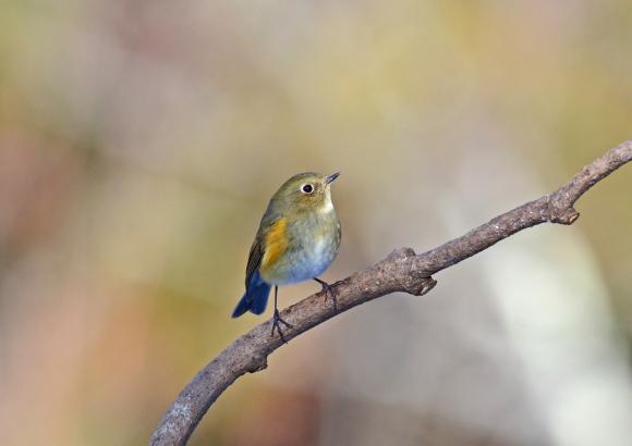 ルリビタキ若鳥 6