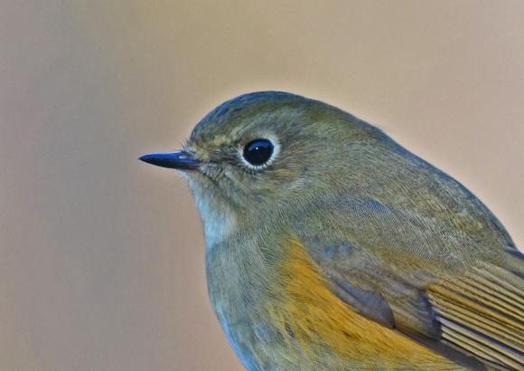 ルリビタキ若鳥 7