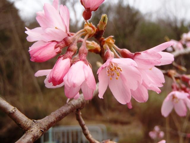 枝垂れ桜130329