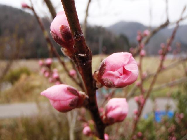 桃の花も咲きそう130329