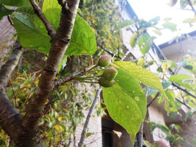 暖地桜桃130425