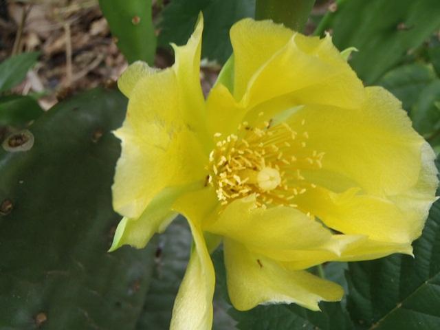 サボテンの花13060