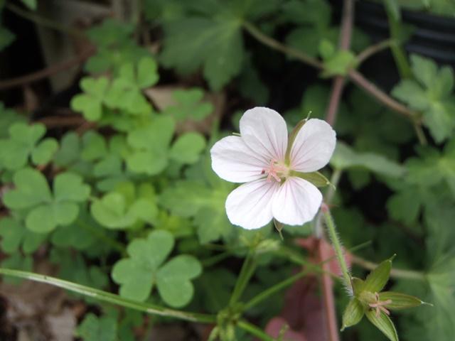 白花ゲンノショウコ130804