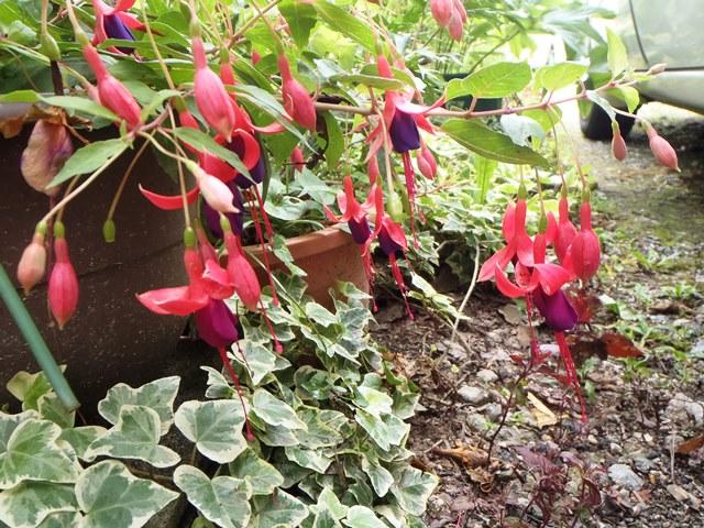 フクシア紫花130809