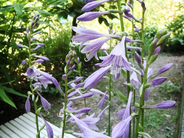 ギボウシの花130813
