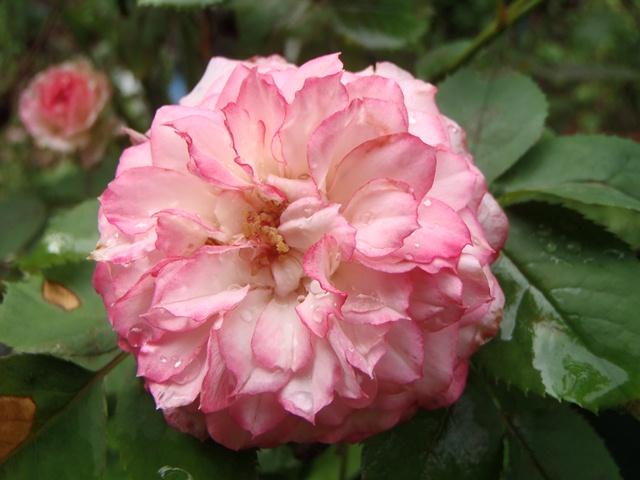 薔薇130806