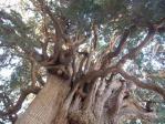 100年以上生きている木