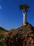 キューカンバーツリー8