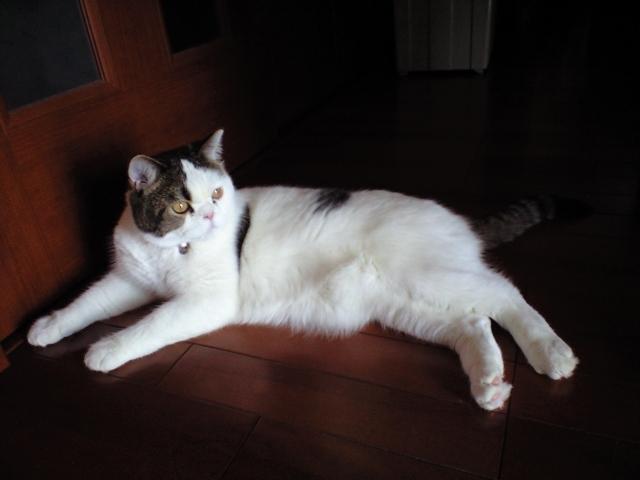 2年間いた猫(かい) - クリックで拡大