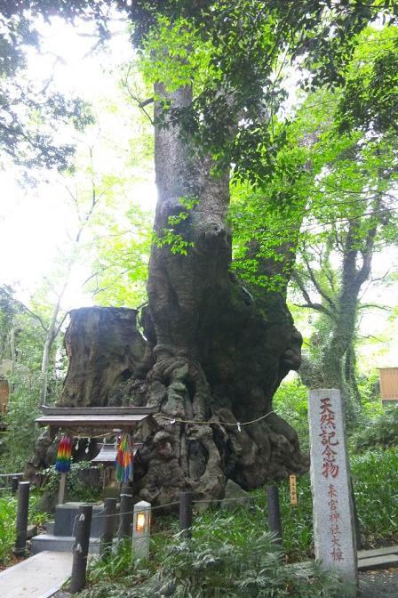 熱海 二千年 大楠木