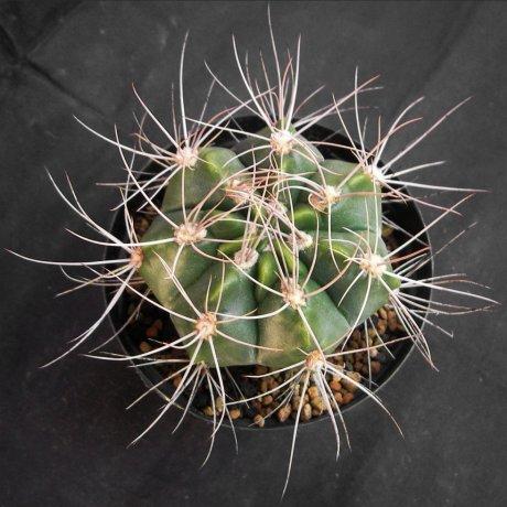 Sany0199--varnicekianum v polycentralis--mes seed