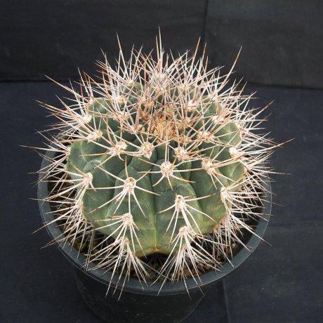 Sany0223--castellanosii v armillatum--P 217--ex Eden
