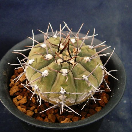 Sany0139-riojense paucispinum--STO-0120-Telaritos-Eden15244