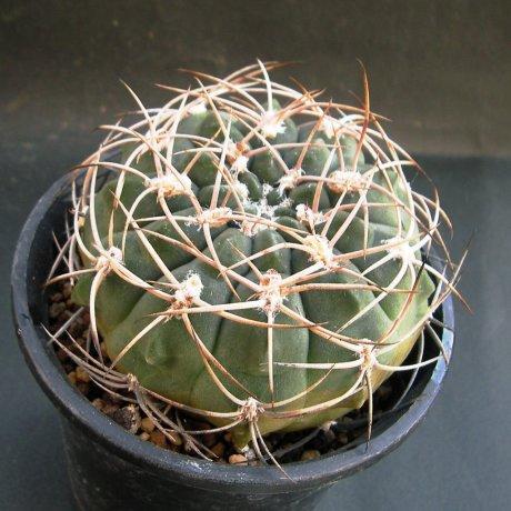 Sany0030-nigriareolatum v denispinum--P 24--Dique de Catamarca CAT--ex Eden 13234