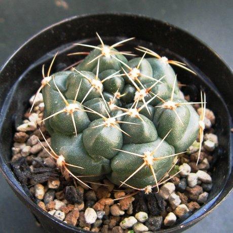 Sany0032--uruguayense v melanocarpum--LB 2700--Bercht seed