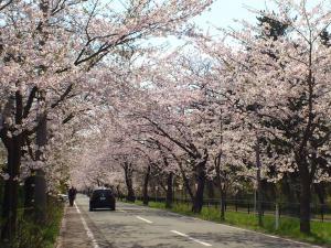 ハーブワールド前の桜01