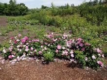 9:55 回りに植えられているバラ