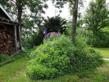 12:57 そば哲ギャラリーの横の庭にデルフィニウムがありました。