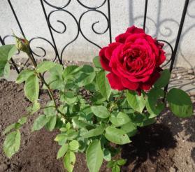 6月10日 きれいに咲きました。