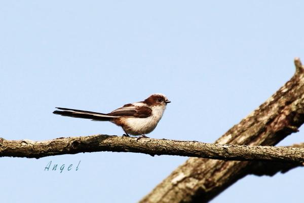エナガ幼鳥(201305253316)