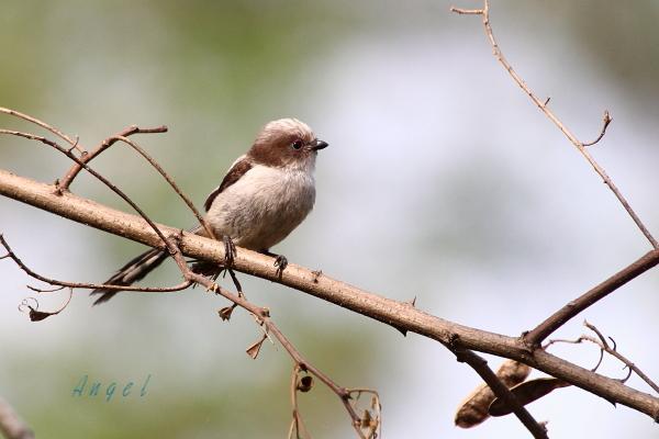 エナガ幼鳥(201305253281)