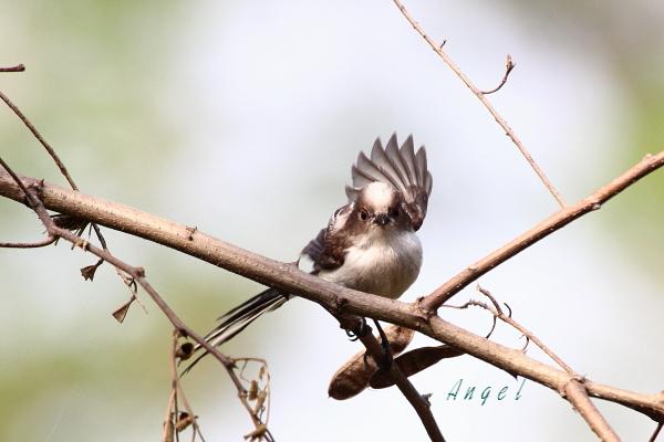エナガ幼鳥(201305253271)