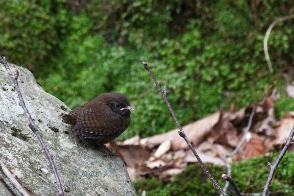 ミソサザイ幼鳥(201306023922)