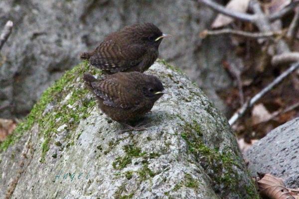 ミソサザイ幼鳥(201306024045)