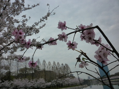 大阪城の桜5