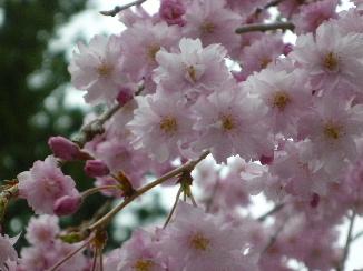 高野山の桜4