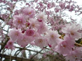 高野山の桜5