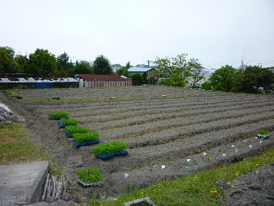夏野菜苗植え2