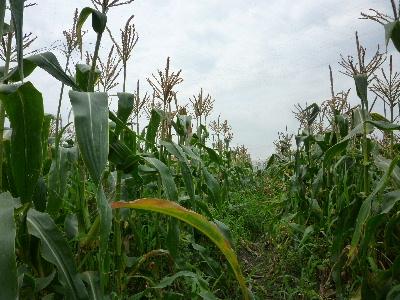 7月収穫2