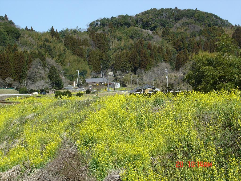 みすみ鉄道と菜の花