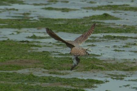 falco-columbarius-hunt
