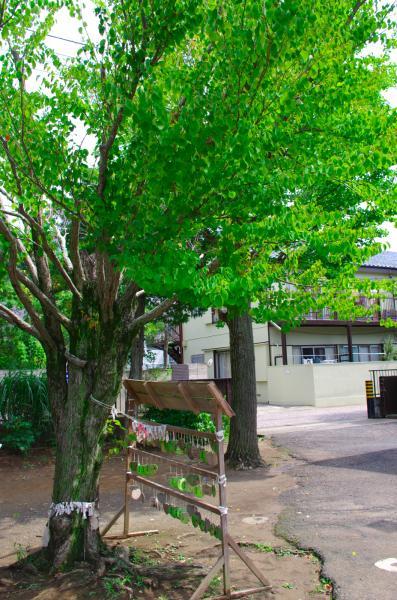 さだまさしの桂の木 / Katsura which Masashi Sada planted