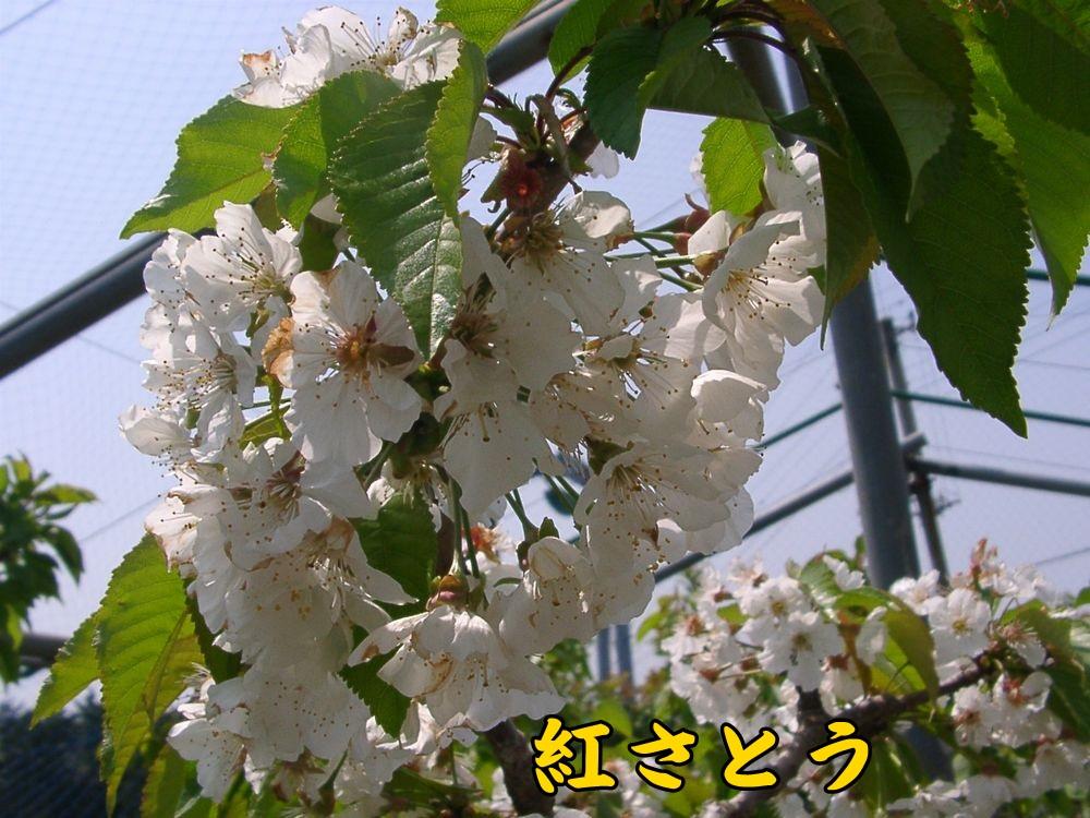 1benisato0416c1.jpg