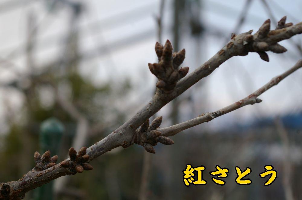 1benisatou0118c1.jpg