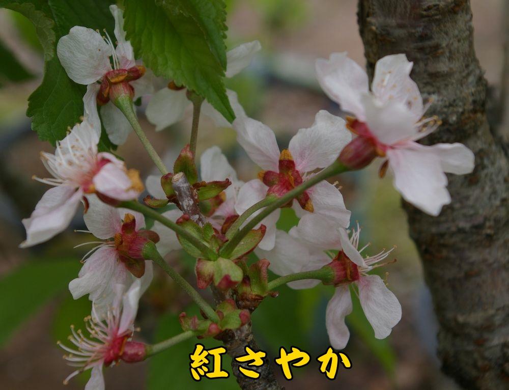 1benisaya0417c2.jpg