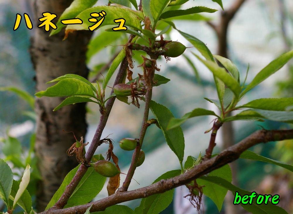 1hanejyu0430c1.jpg