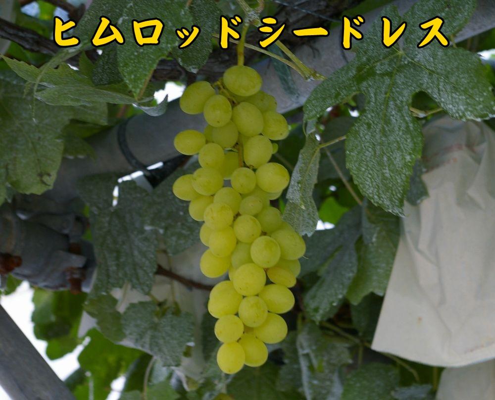 1himurod0818c1.jpg