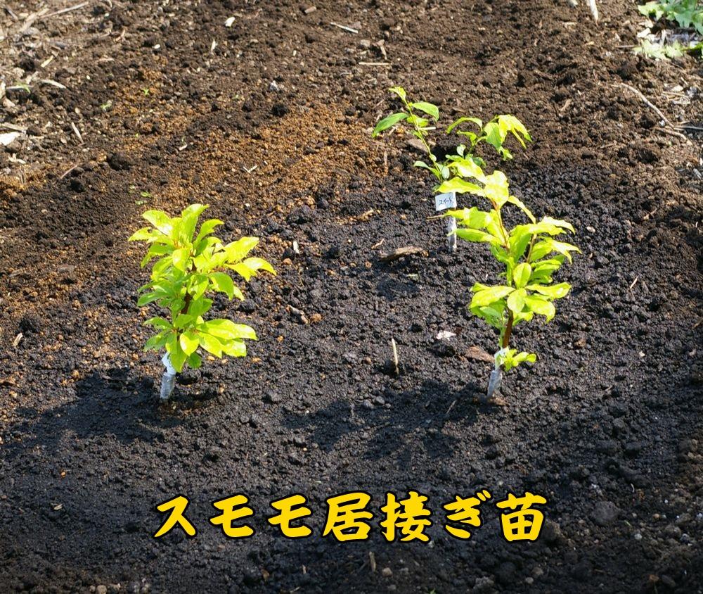 1sumomo0429c1.jpg
