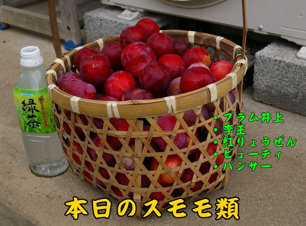 1sumomo0624c1.jpg