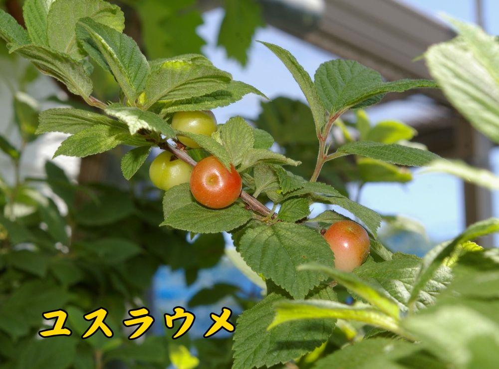 1yusura0512c1.jpg